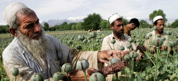 Afghan farmers picking raw opium in a poppy field