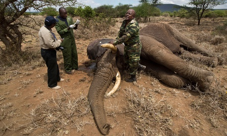 A member from Kenya's Wildlife Service prepares to revive a tranquilized elephant.