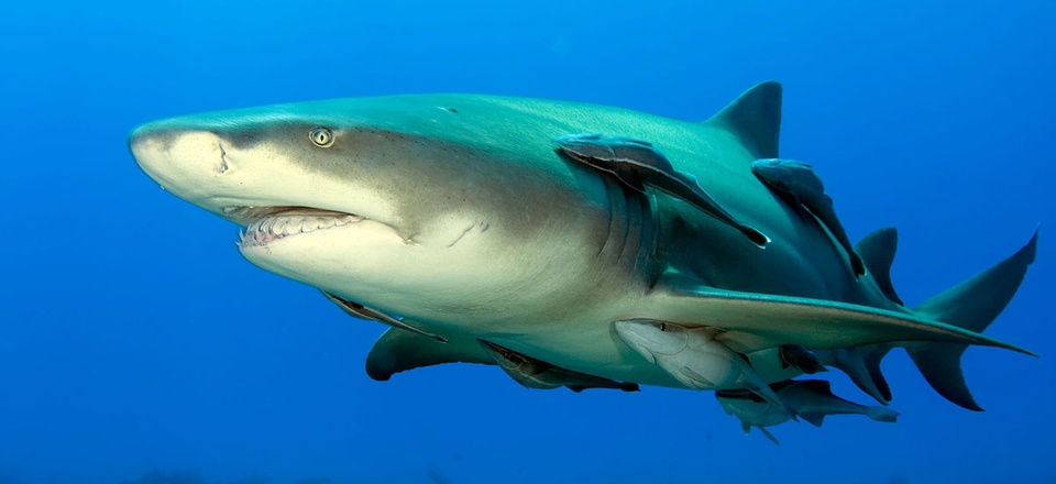 Remora fish catch a ride with a lemon shark in the Bahamas.