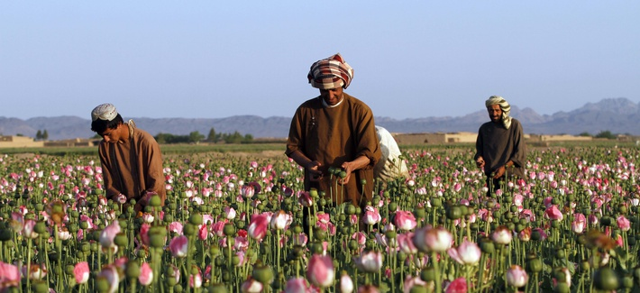 In this April 11, 2016 file photo, farmers harvest raw opium at a poppy field in the Zhari district of Kandahar province, Afghanistan.