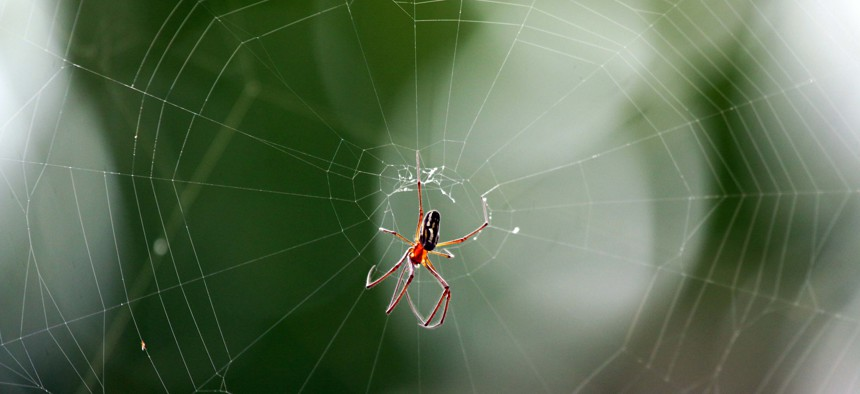 Researchers inserted DNA from the golden silk orb-weaver spider (Nephila clavipes) into silkworms.