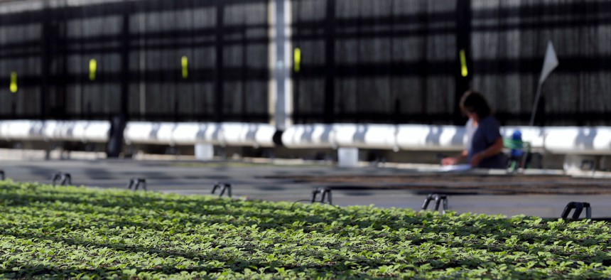 In this 2014 photo, young tobacco plants of a unique variety grow in the greenhouse at Medicago USA, Inc. in Research Triangle Park, N.C. Through its plant-based technology, the facility is capable of producing millions of doses of vaccines.