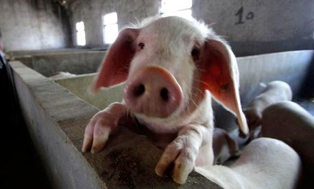 A pig farm at Longtan Village in Changzhou, China