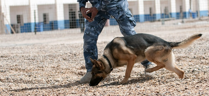 An Iraqi dog handler in Ramadi trains a German shepherd to find explosive samples.