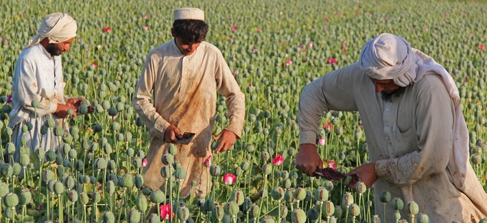 Afghan farmers collect raw opium as they work in a poppy field in Chaparhar district, Jalalabad, Afghanistan.