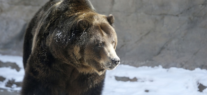A Grizzly bear at the Denver Zoo.
