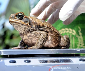 "This March 29, 2009 file photo shows a cane toad being weighed at a collection point in Cairns, Australia during the ""Toad's Day Out"" program."