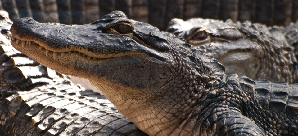 Alligators at Alligator Bay, Beauvoir, France