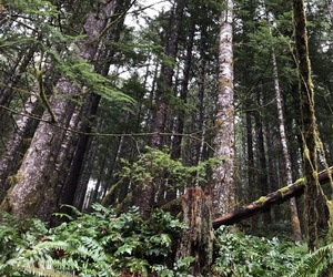 This stand of state trust land forest near Washington's Merrill Lake will be logged by the state next year, providing about $1.5 million in revenue for school construction.